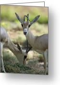 Horns Greeting Cards - Dorcas Gazelle At The Sedgwick County Greeting Card by Joel Sartore