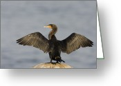 Phalacrocorax Auritus Greeting Cards - Double Crested Cormorant Drying Wings Greeting Card by Sebastian Kennerknecht