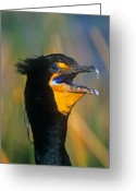 Phalacrocorax Auritus Greeting Cards - Double-Crested Cormorant Greeting Card by John Harmon