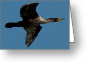 Phalacrocorax Auritus Greeting Cards - Double-crested Cormorant.. Greeting Card by Nina Stavlund
