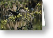 Phalacrocorax Auritus Greeting Cards - Double-crested Cormorant Phalacrocorax Greeting Card by Roy Toft