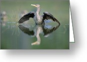 Phalacrocorax Auritus Greeting Cards - Double Crested Cormorant Stretching Greeting Card by Tim Fitzharris