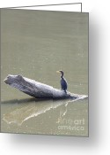 Indiana Rivers Greeting Cards - Double-crester Cormorant Greeting Card by Jack R Brock