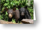 Black Bear Cubs Greeting Cards - Double Trouble Greeting Card by Gerry Sibell
