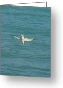 Tern Greeting Cards - Down Tern Greeting Card by Lynda Dawson-Youngclaus