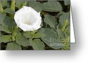 Thorn Apple Greeting Cards - Downy Thorn Apple Flower Greeting Card by Leonid Serebrennikov