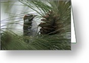 Woodpecker Photos Greeting Cards - Downy Woodpecker Greeting Card by Ben Upham