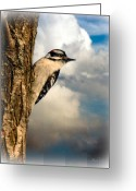 Wildlife Photo Greeting Cards - Downy Woodpecker Greeting Card by Bob Orsillo