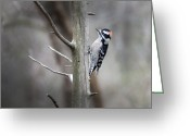 Woodpecker Photos Greeting Cards - Downy Woodpecker Greeting Card by Steven  Michael