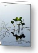 Lily Pad Greeting Cards Greeting Cards - Dragonfly Greeting Card by Albert Stewart