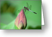 Dragonfly Greeting Cards - Dragonfly And Lotus Bud Greeting Card by masahiro Makino