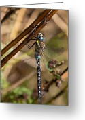 White Wing Greeting Cards - Dragonfly Greeting Card by Gert Lavsen