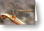 Arabia Greeting Cards - Dragonfly Greeting Card by Graham Taylor