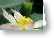 Sacred Photo Greeting Cards - Dragonfly on Lotus Greeting Card by Sabrina L Ryan