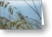 Oats Greeting Cards - Dragonfly on Sea Oats Greeting Card by Robert  Suits Jr