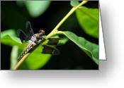 Black Wings Greeting Cards - Dragonfly Plathemis lydia Greeting Card by Rebecca Sherman