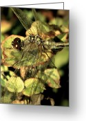 Transparent Green Greeting Cards - Dragonfly Wingspan Greeting Card by Chris Berry