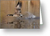 Canada Goose Greeting Cards - Drake Run Goose Feather Pond  c0230b Greeting Card by Paul Lyndon Phillips