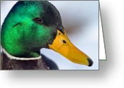 Head-shot Greeting Cards - Drake Up Close Greeting Card by Karol  Livote