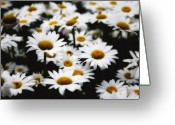 Bellis Greeting Cards - Dreaming Daisies Greeting Card by George Oze