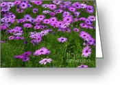 Flower Gardens Greeting Cards - Dreaming of Purple Daisies  Greeting Card by Carol Groenen