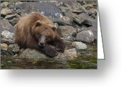 Grizzly Bears Greeting Cards - Dreaming of Salmon Greeting Card by Tim Grams