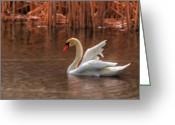 Canada Swan Greeting Cards - Dreamy Greeting Card by Lois Bryan