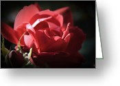 Close-up Greeting Cards - Dreamy Rose Greeting Card by Kelly Rader