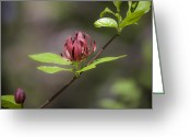 Spicebush Greeting Cards - Dreamy Sweetshrub Greeting Card by Teresa Mucha
