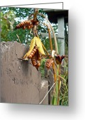 Cedar Fence Greeting Cards - Dried Lily Seeds  Greeting Card by Pamela Patch