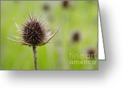 Texture Floral Greeting Cards - Dried Thistle Greeting Card by Carlos Caetano