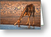 Drinking Water Greeting Cards - Drinking giraffe Greeting Card by Johan Elzenga