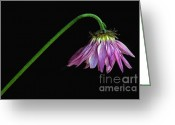 Violet Purple Greeting Cards - Droopy Greeting Card by Dan Holm