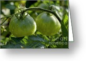Food And Beverage Greeting Cards - Drops on immature green tomatoes after a rain shower Greeting Card by Sami Sarkis