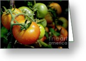 Food And Beverage Greeting Cards - Drops on immature red and green tomato Greeting Card by Sami Sarkis