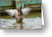 Bonnes Eyes Fine Art Photography Greeting Cards - Duck Bath Greeting Card by Bonnes Eyes Fine Art Photography