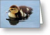 Duckling Greeting Cards - Duckling Greeting Card by Jeannie Burleson