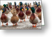 Birds  Greeting Cards - DuckOrama Greeting Card by Bob Orsillo