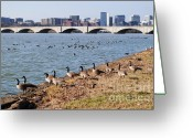 Arlington Memorial Bridge Greeting Cards - Ducks of the Potomac Greeting Card by Jost Houk
