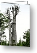 Horticulture Greeting Cards - Duncan Memorial Big Cedar Tree - Olympic National Park WA Greeting Card by Christine Till