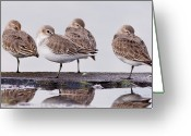 Four Animals Greeting Cards - Dunlins Greeting Card by Hiroyuki Uchiyama