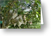 Durian Greeting Cards - Durian tree Hong Kong Greeting Card by Kathy Daxon