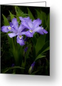 Flowers Photographs Greeting Cards - Dwarf Crested Iris Greeting Card by Rob Travis