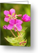 Fireweed Greeting Cards - Dwarf Fireweed Greeting Card by Richard Henne