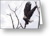 Postcard Greeting Cards - Eagle Greeting Card by Everet Regal