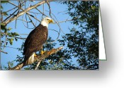 Christine Hafeman Greeting Cards - Eagle Eye Greeting Card by Christine Hafeman