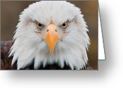 Eagle Prints Greeting Cards - Eagle Eye Greeting Card by Katie Abrams