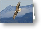 Eagle Prints Greeting Cards - Eagle flight with mountain Greeting Card by Sasse Photo