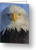 Eagle Prints Greeting Cards - Eagle protrait from front Greeting Card by Sasse Photo