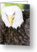 Ken Sjodin Greeting Cards - Eagle3 Greeting Card by Ken  Sjodin
